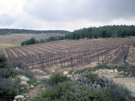Doyle Stevenson Vineyard on the edge of Yatir forest